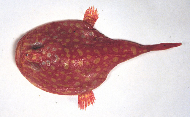 Chaunax abei coffinfish for Types of red fish