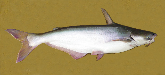 Frozen foods exports pangas fish for What is pangasius fish