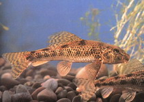 Image for Abbottina rivularis, Cyprinidae, Chinese false gudgeon.