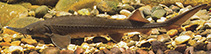 Image of Acipenser baerii (Siberian sturgeon)