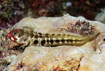Image of Acanthemblemaria balanorum (Clubhead blenny)