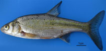 Image of Acanthobrama marmid (Tigris bream)