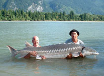 Image of Acipenser transmontanus (White sturgeon)