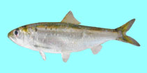 Image of Alosa tanaica (Black Sea shad)