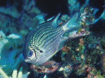 Image of Amblyglyphidodon leucogaster (Yellowbelly damselfish)