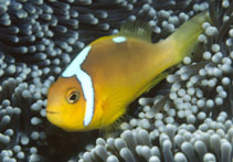 Image of Amphiprion leucokranos (Whitebonnet anemonefish)