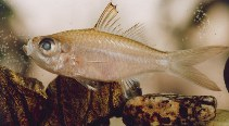 Image of Ambassis miops (Flag-tailed glass perchlet)