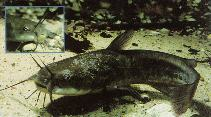 Image of Ameiurus nebulosus (Brown bullhead)