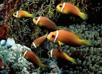 Image of Amphiprion nigripes (Maldive anemonefish)