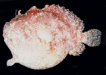 Image of Antennatus duescus (Side-jet frogfish)
