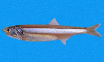 Image of Anchoa ischana (Sharpnose anchovy)