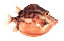 Image of Anoplocapros lenticularis (White-barred boxfish)