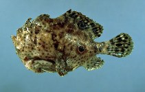 Image of Fowlerichthys ocellatus (Ocellated frogfish)
