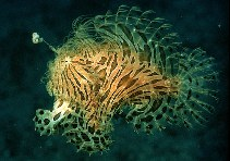 Image of Antennarius striatus (Striated frogfish)