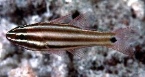 Image of Ostorhinchus angustatus (Broadstriped cardinalfish)