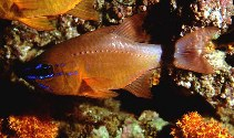 Image of Ostorhinchus aureus (Ring-tailed cardinalfish)