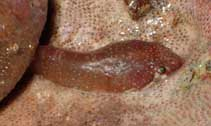 Image of Apletodon dentatus (Small-headed clingfish)