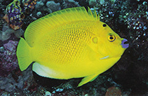 Image of Apolemichthys trimaculatus (Threespot angelfish)