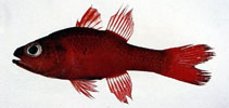 Image of Apogon unicolor (Big red cardinalfish)