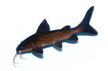 Image of Neoarius graeffei (Blue salmon catfish)