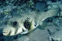Image of Arothron hispidus (White-spotted puffer)