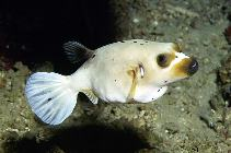 Image of Arothron nigropunctatus (Blackspotted puffer)