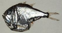 Image of Argyropelecus olfersii
