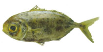 Image of Ariomma regulus (Spotted driftfish)