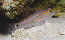 Image of Asterropteryx bipunctata (Orange-spotted goby)