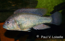 Image of Astatotilapia desfontainii