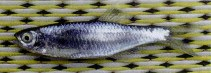 Image of Opsarius koratensis