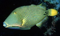 Image of Balistapus undulatus (Orange-lined triggerfish)