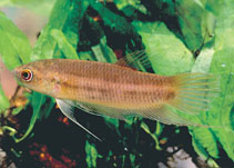 Image of Betta chloropharynx