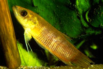 Image of Betta tomi