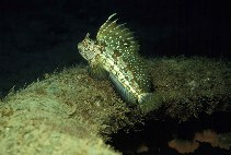 Image of Blennius ocellaris (Butterfly blenny)