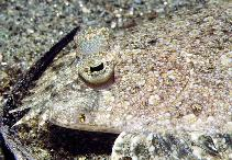 Image of Bothus pantherinus (Leopard flounder)