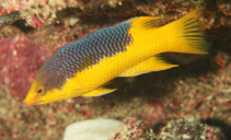 Image of Bodianus rufus (Spanish hogfish)