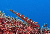 Image of Bryaninops amplus (Large whip goby)
