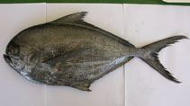 Image of Brama brama (Atlantic pomfret)