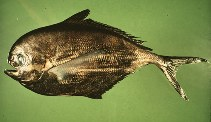 Image of Brama japonica (Pacific pomfret)