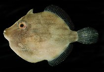 Image of Brachaluteres ulvarum (Japanese inflator filefish)