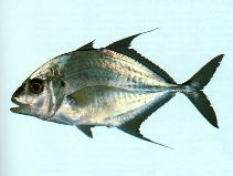 Image of Carangoides chrysophrys (Longnose trevally)