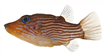 Image of Canthigaster criobe (Striped toby)