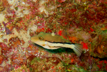 Image of Canthigaster figueiredoi (Southern Atlantic sharpnose-puffer)