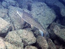 Image of Catostomus macrocheilus (Largescale sucker)