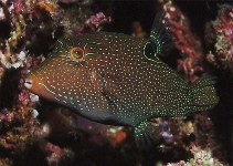 Image of Canthigaster papua (Papuan toby)