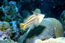 Image of Cantherhines pullus (Orangespotted filefish)