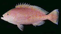 Image of Caprodon schlegelii (Sunrise perch)