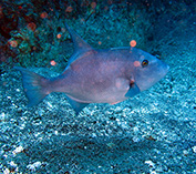 Image of Canthidermis sufflamen (Ocean triggerfish)