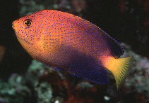 Image of Centropyge interrupta (Japanese angelfish)